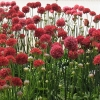 Armeria pseud. Ball...rina Red R