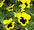 Viola Delta Collossus Yellow with Bloth_1